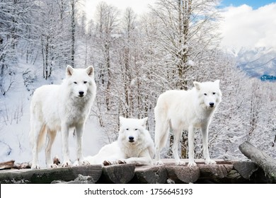 Arctic Wolves. White wolf in Winter Forest