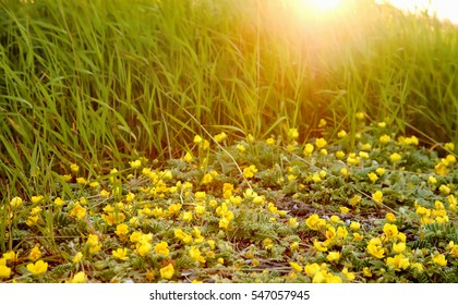 Arctic yellow flowers and green grass at the sunset
