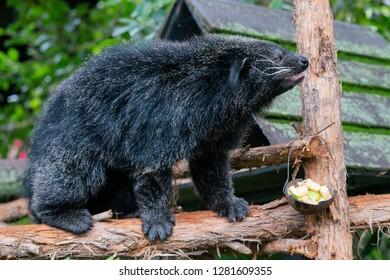 Arctictis binturong or bearcat a viverrid native to South east Asia