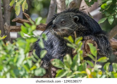 Arctictis binturong on the tree.