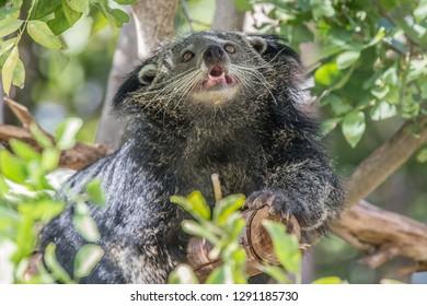 Arctictis binturong on the tree.