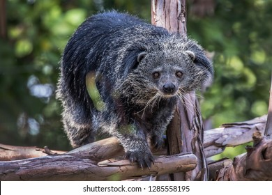 Arctictis binturong at the zoo.