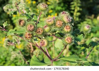 Arctium, fleurs d'enclos dans un pré en gros plan mise au point sélective
