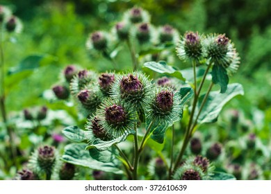 Arctium lappa. Greater Burdock. Edible Burdock.