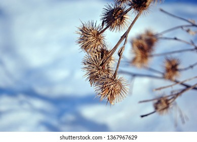 Arctium lappa (greater burdock, gobo, edible burdock, lappa, beggar's buttons, thorny burr, happy major) dry flowers on blurry white snow background top view
