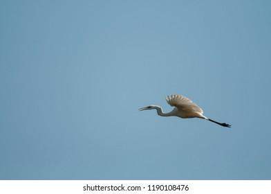 Ardea alba (Great egret)