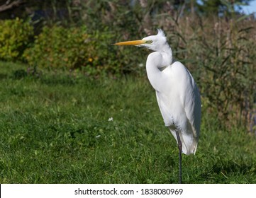 Ardea alba, also known as the common egret, large egret or great white egret or great white heron. Kemeri National Park. Latvia.