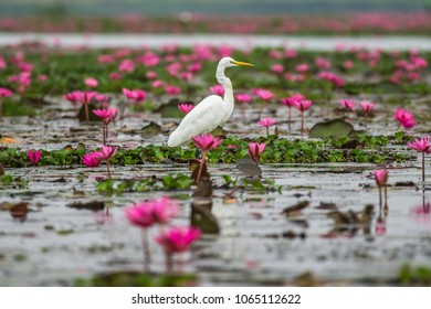 Ardea alba On the lake and pink lotus