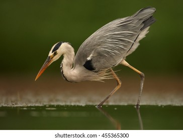 Ardea cinerea, Grey Heron, wading in water, just a second before attack on fish. Water level photography, dark green, abstract background. Moravia wetlands, Czech republic, Europe.