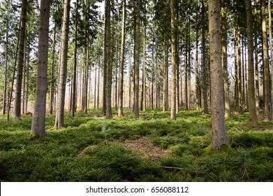 Ardennes, Belgium beautiful large pine trees in woods