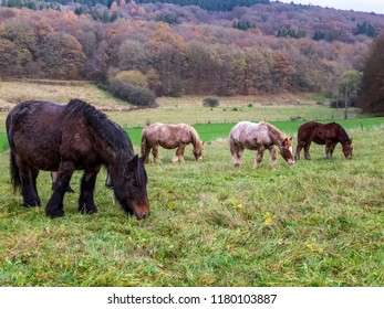 Ardennes mares and foals grazing in a Belgian pasture on a rainy November day
