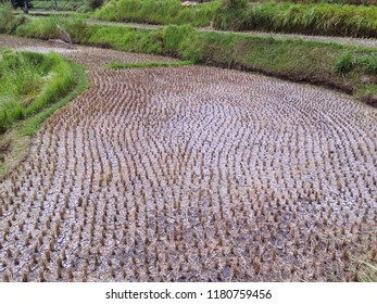 The Area Of Rice Fields After Harvesting At Ringdikit Village, Buleleng, North Bali, Indonesia