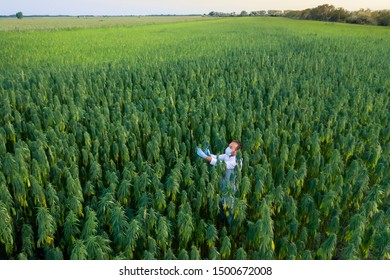 Areal shoot of scientist with magnifying glass observing CBD hemp plants on marijuana field