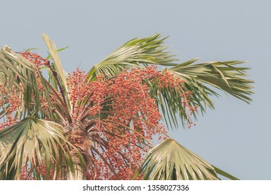 Areca catechu or betel nut is colorful in the garden.common names including the areca palm, areca nut palm, betel palm, Indian nut.