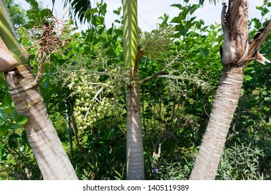 Areca Catechu, Betel Palm, Betel Nut, Areca catechu is grown for its commercially important seed crop, the areca nut.