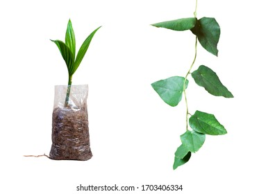 Areca catechu L. and Cissampelos pareira L. Planting Areca nut palm seedling in plastic bag and liana Pareira barva. Isolated on white background.