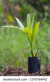 Areca catechu tree in black bag