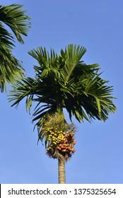 Areca nut in blue sky , Areca nut palm, Areca palm, Betel nuts. palm, Betel NutAreca catechu L