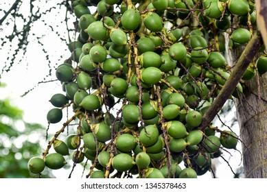 Areca nut, Areca nut palm, Areca palm, Betel nuts. palm, Betel NutAreca catechu L