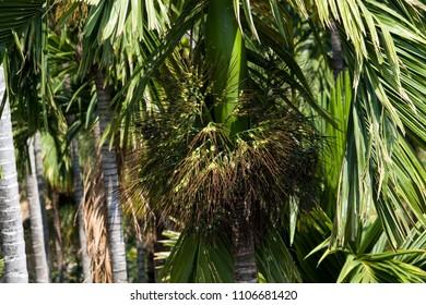 Areca nut Or Supari Plant Called As Palm Plant Estate Coimbatore, Tamil Nadu In India