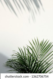 Areca palm shadows on a white wall