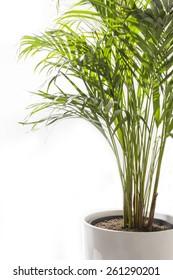 Areca Yellow Palm Tree