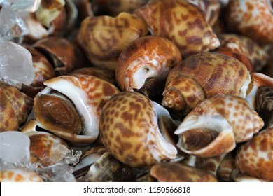 Areola Babylon or Spotted Babylon live snails were put on ice as well.