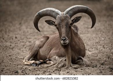 Argali, Wild Sheep.