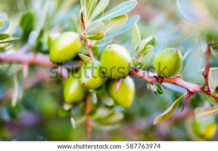 Argan nuts (Sapotaceae, Argania spinosa) growng on green tree branch in Morocco