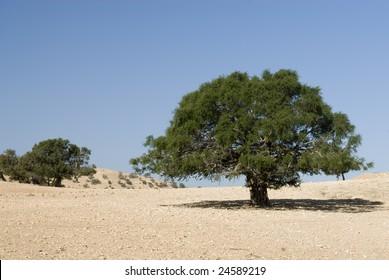 Argan tree (Argania spinosa) in the desert