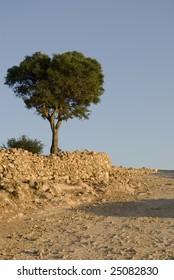Argan tree (Argania spinosa) in the high Atlas mountains of Morocco