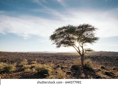 Argan tree in the desert, Morocco