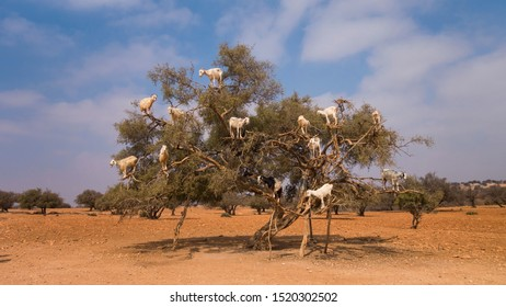 Argan tree with many goats on it in Morocco North Africa.