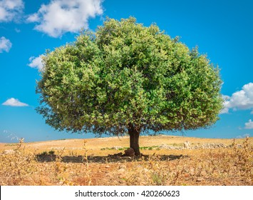 Argan tree in the sun, Morocco