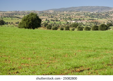Argan trees (Argania spinosa) in green field with a valley in the background