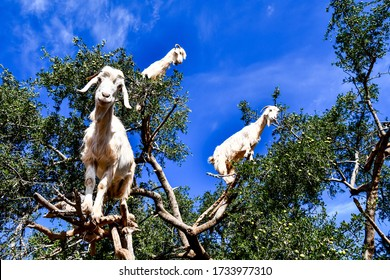 Argan trees and the goats on the way between Marrakesh and Essaouira in Morocco