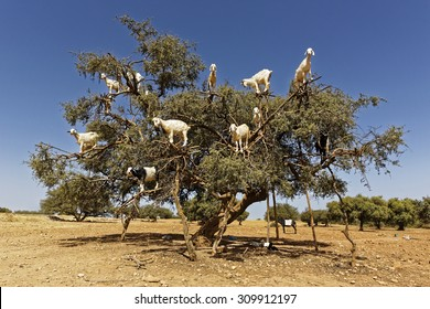 Argan trees and the goats on the way between Marrakesh and Essaouira in Morocco.Argan Oil is produced by using the seeds of the trees,and the oil is used for  cosmetics,beauty products and skin care
