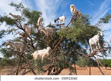Argan trees and the goats on the way between Marrakesh and Essaouira in Morocco. Argan Oil is produced by using the seeds of the trees,and the oil is used for cosmetics,beauty products and skin care.