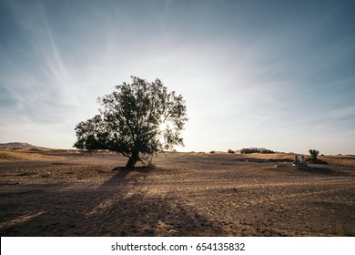 Argan trees in the morning in the desert of Merzouga, Morocco
