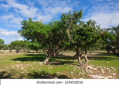 Argan trees (Sapotaceae, Argania spinosa) in their natural habitat - in Morocco