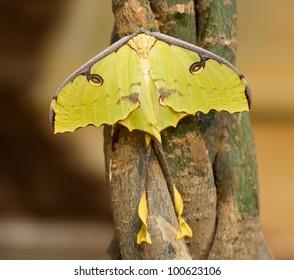 Argema mimosae butterfly