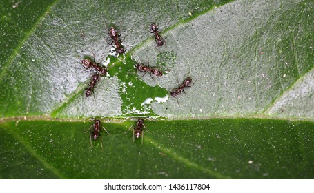 Argentine ants (Linepithema humile) drinking from a small puddle on a leaf.