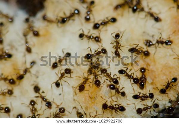 Argentine Ants Linepithema Humile Feeding On Stock Photo