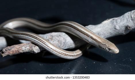 Argentine apodal lizard