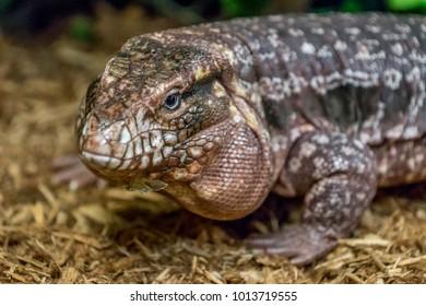 Argentine black and white, or giant, Tegu lizard