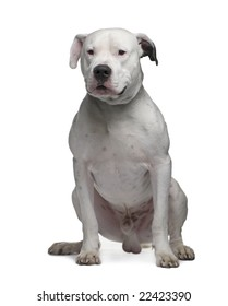 Argentine Dogo (2 years) in front of a white background