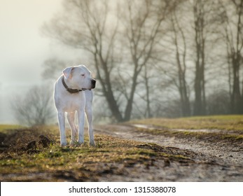 Argentine mastiff staying in nature on the path