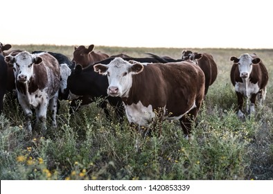 Argentine meat production,cows fed on natural grass.