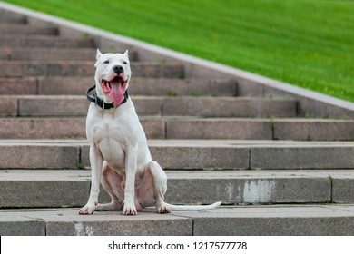 argentinian dog walking on