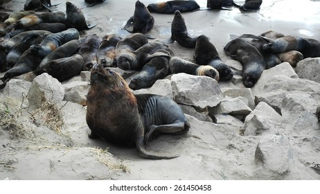 Argentinian Sea Wolf Colony